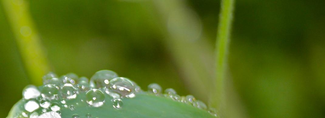 Rain Columbine Leaf