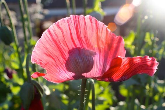 Poppy seed head